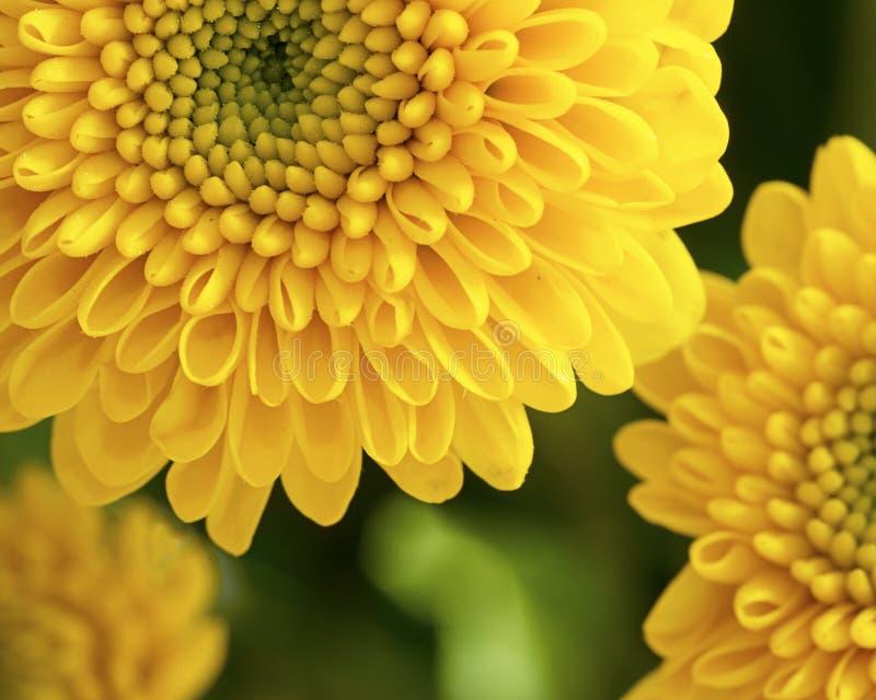 Download Chrysanthème image stock. Image du fleurs, flore, jour - 76090233