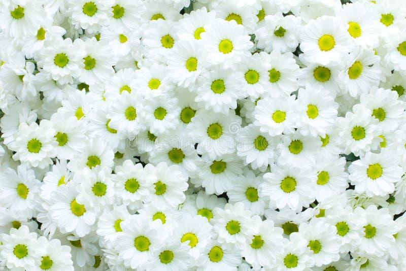 Chrysanthème blanc photo stock