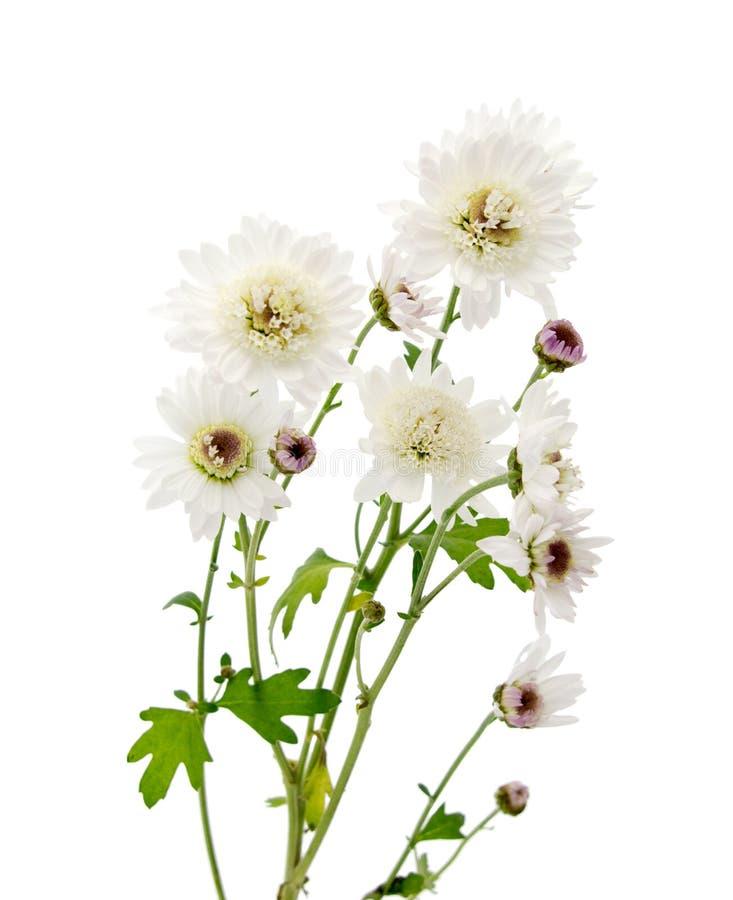 chrysanth me blanc de fleur sur une longue tige image stock image du brillamment lames 83795893. Black Bedroom Furniture Sets. Home Design Ideas