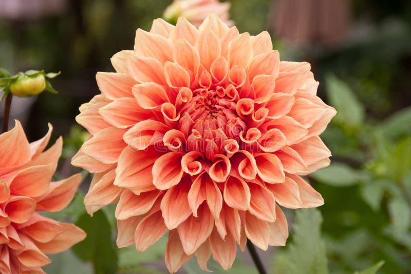 chrysanthème d'à¸'Big photos stock
