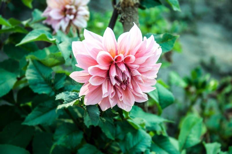 Chrysanthème dans un jardin image libre de droits