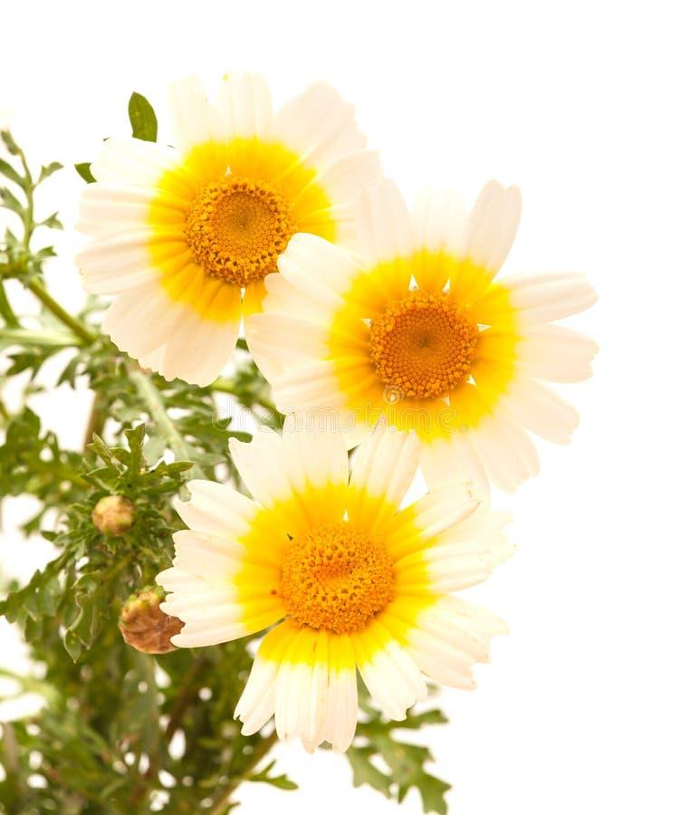 Chrysanthème de guirlande d'isolement sur le blanc photographie stock