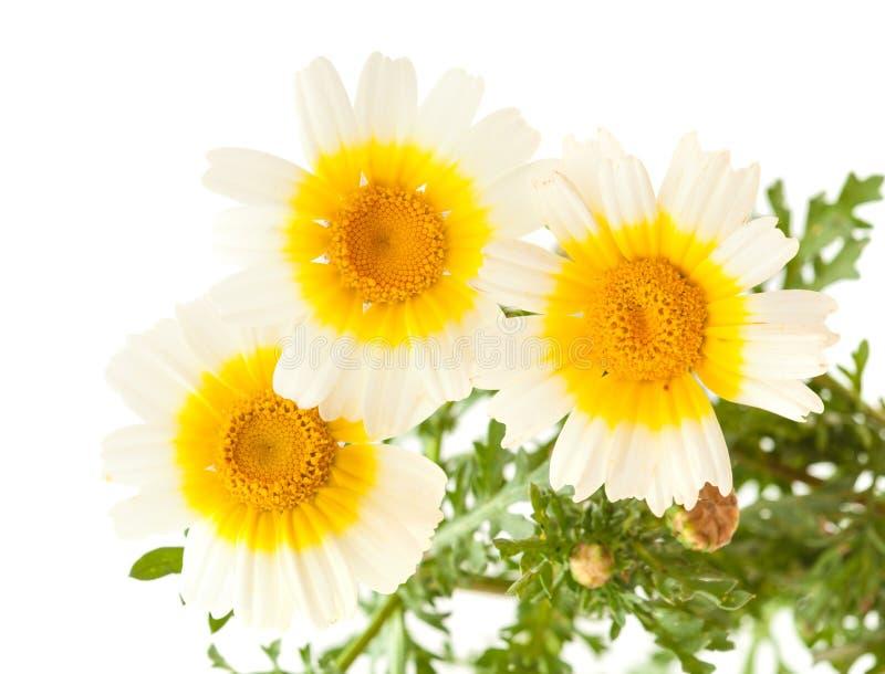 Chrysanthème de guirlande d'isolement sur le blanc image stock