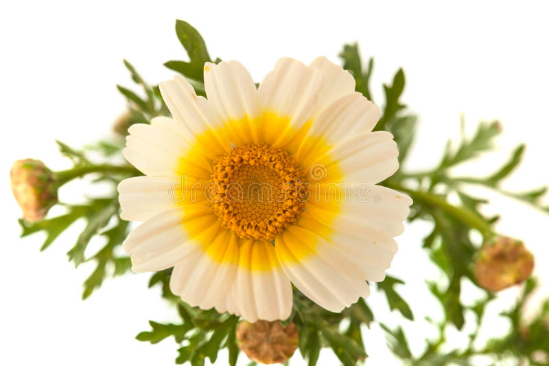 Chrysanthème de guirlande d'isolement sur le blanc photo libre de droits