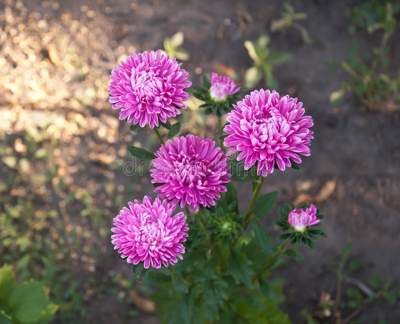 Chrysanthème de pourpre de fleur images libres de droits