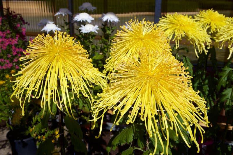 Chrysanthème japonais photos libres de droits
