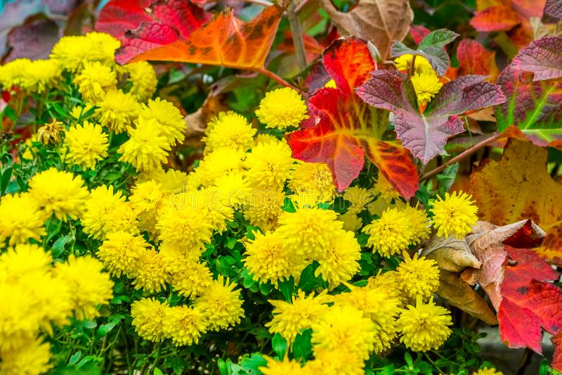 Chrysanthème jaune photographie stock libre de droits
