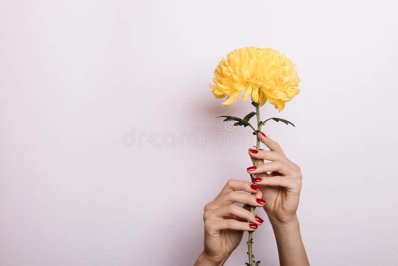 Chrysanthème jaune dans des mains d'une femelle avec la manucure rouge photographie stock libre de droits