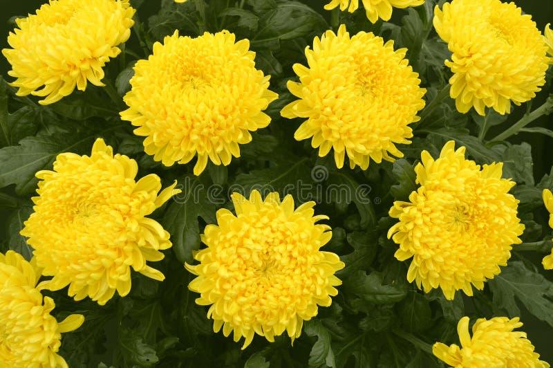 Chrysanthème Misty Golden photo libre de droits