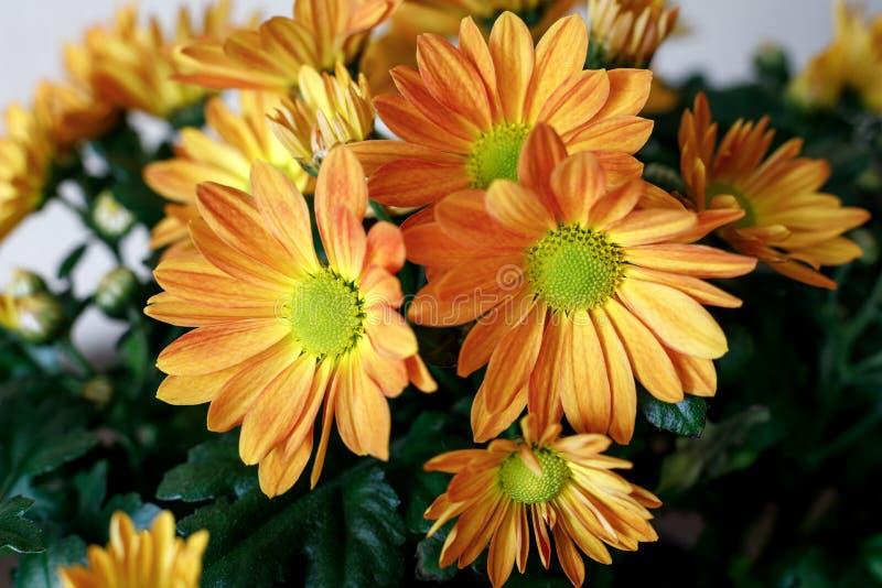 Chrysanthème orange de Bush dans un pot images stock