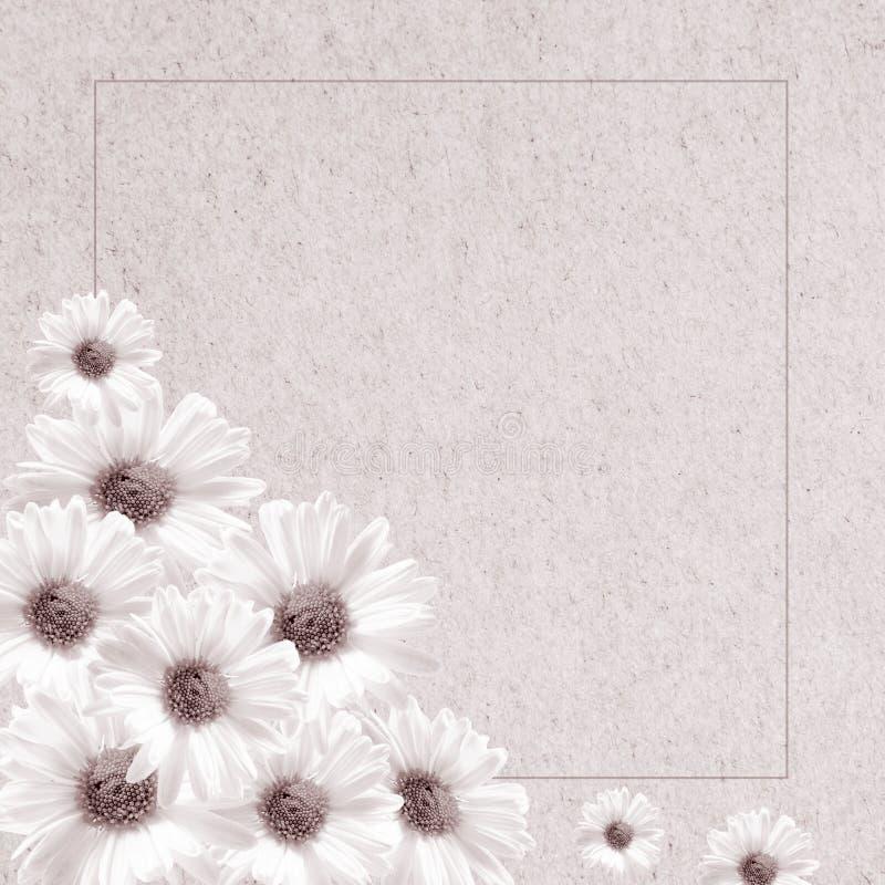 Chrysanthème rose de fleurs sensibles photos libres de droits