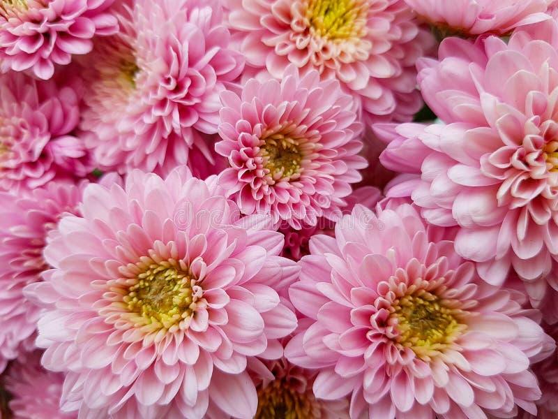 Chrysanthème rose Fleurs de chute Plan rapproché Fond chrysanthemum de floraison photos libres de droits