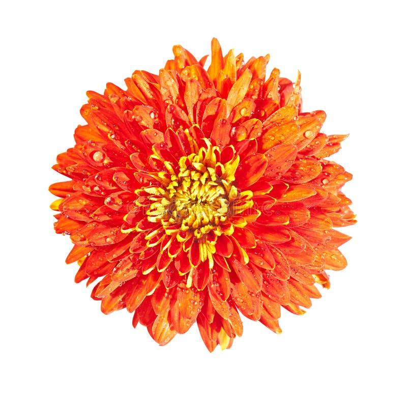 Chrysanthème rouge image stock