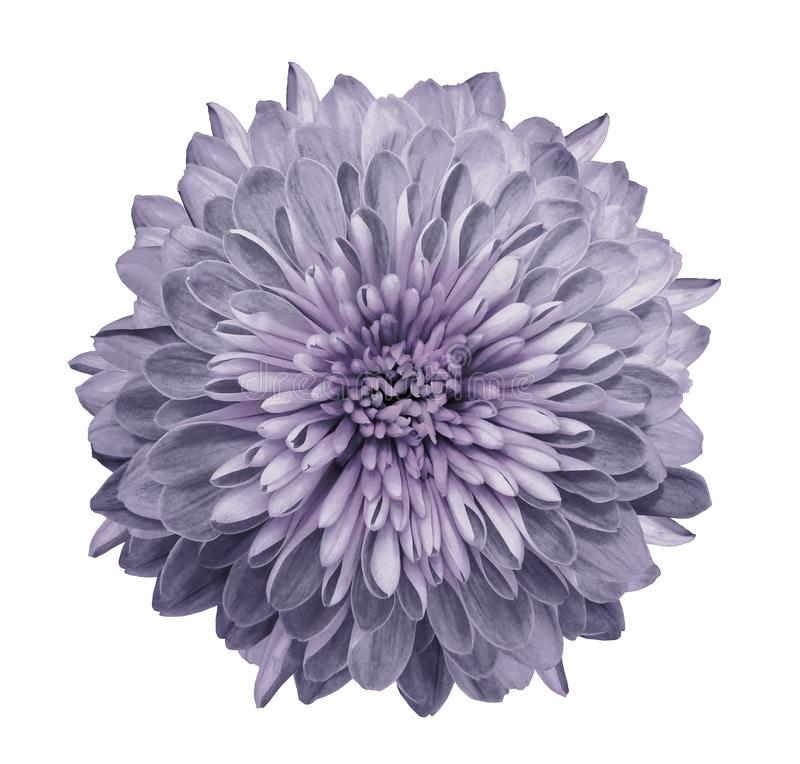 Chrysanthème violet-clair Fleurissez sur le fond blanc d'isolement avec le chemin de coupure sans ombres Plan rapproché Pour la c image libre de droits