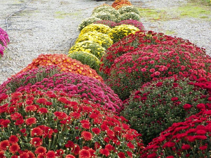 Chrysanthèmes photos stock