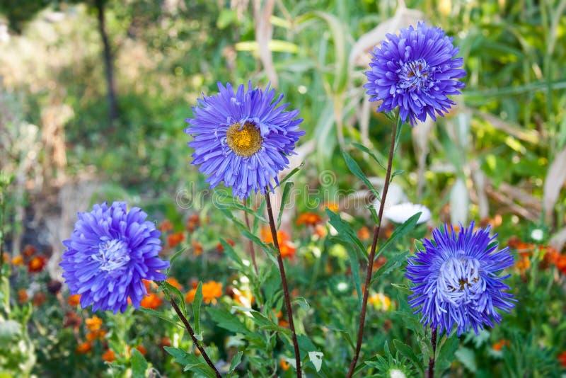 Chrysanthèmes de pourpre de fleur photographie stock libre de droits