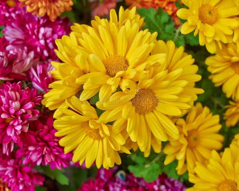 Chrysanthèmes, fond floral naturel image stock