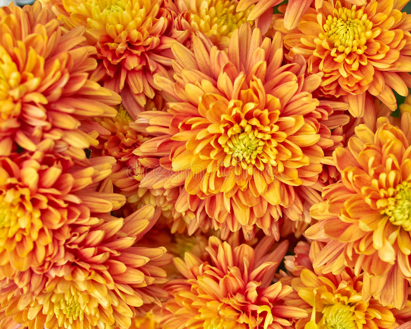 Chrysanthèmes oranges, fond floral naturel image stock