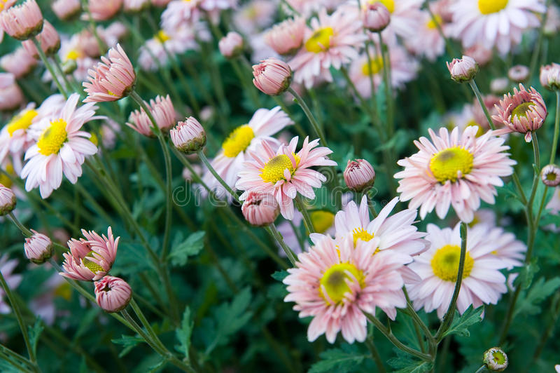 Chrysanthèmes roses et blancs images stock