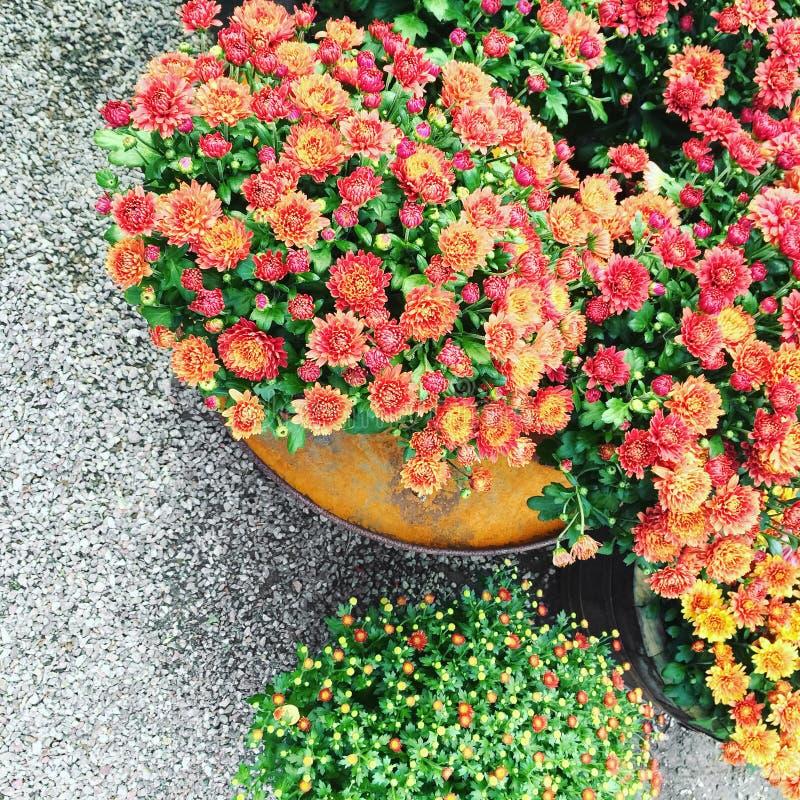 Chrysanthèmes rouges dans un pot images libres de droits