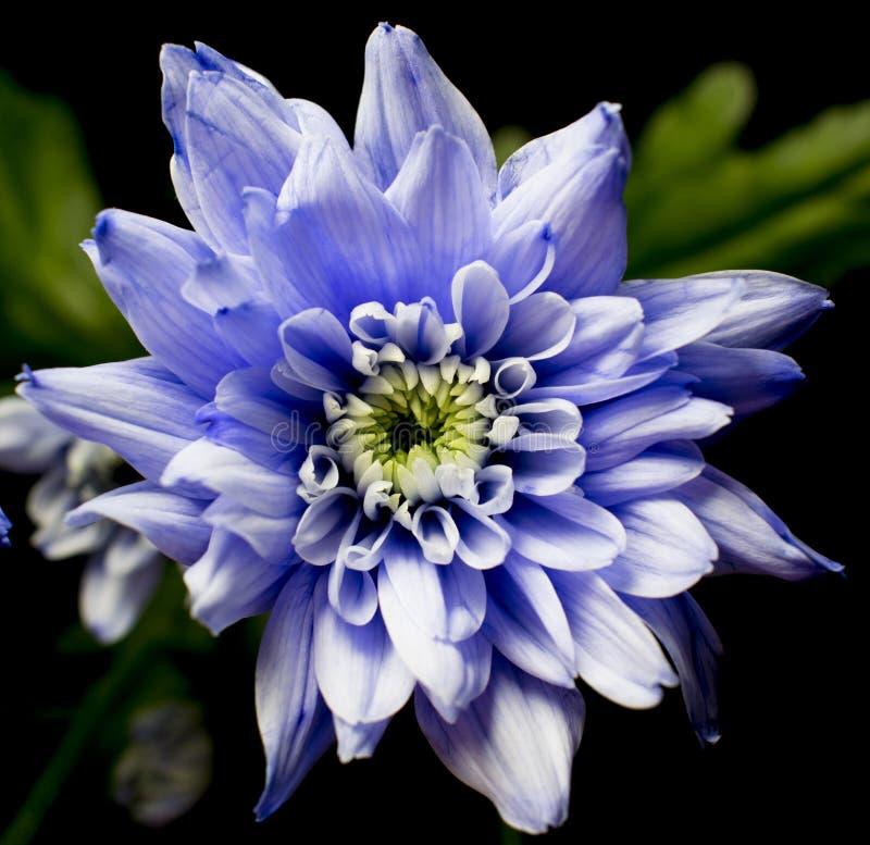 Chrysanth viola sul quadrato nero immagini stock
