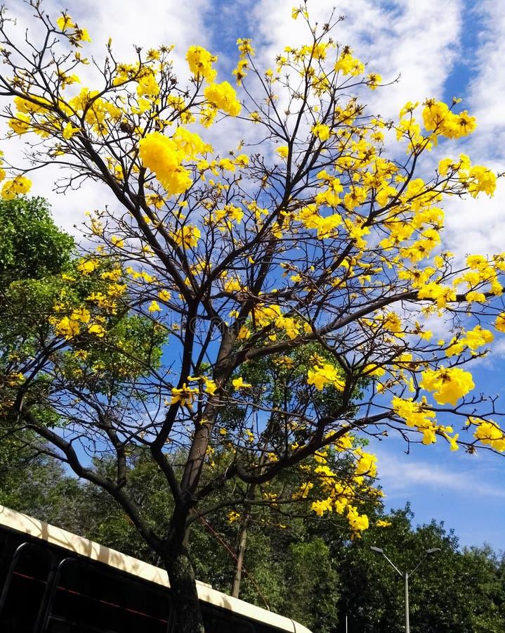 Chrysantha de Tabebuia, nomeado araguaney, ipe, guayacan Árvore amarela da flor da flor fotografia de stock