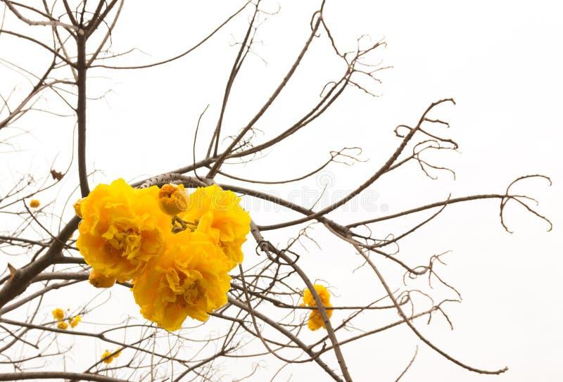 Chrysantha di Tabebuia (Jacq ) Il bello fiore di colore nella b fotografia stock libera da diritti