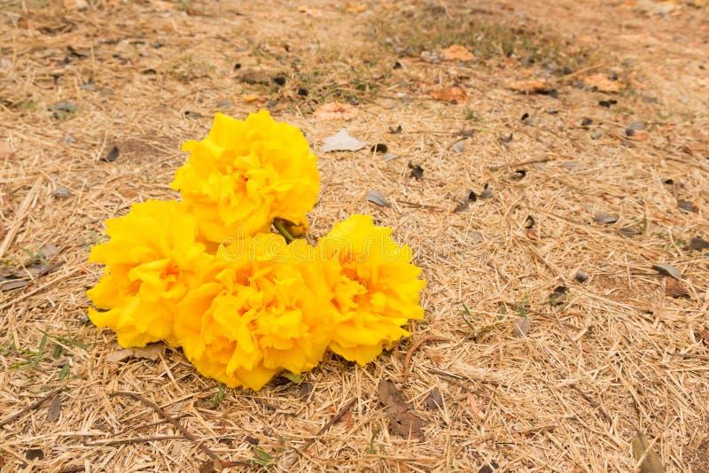 Chrysantha di Tabebuia (Jacq ) Il bello fiore di colore nella b immagine stock libera da diritti