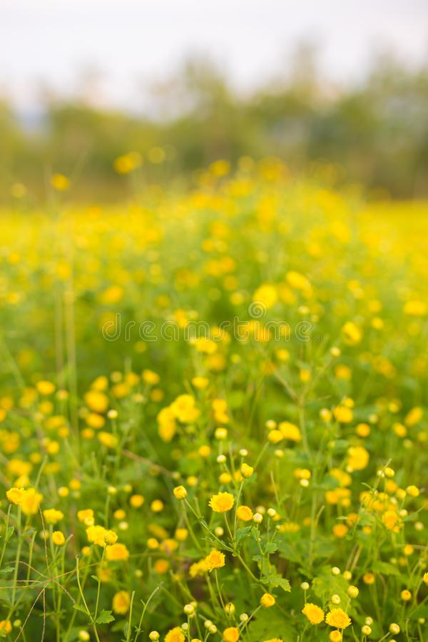 Chrysanthe do papel de parede do crisântemo do crisântemo das flores das flores imagens de stock royalty free