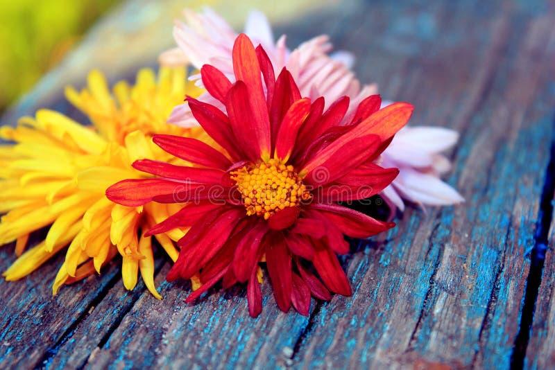 Download Chrysantheme über Holz stockbild. Bild von hintergrund - 27732635