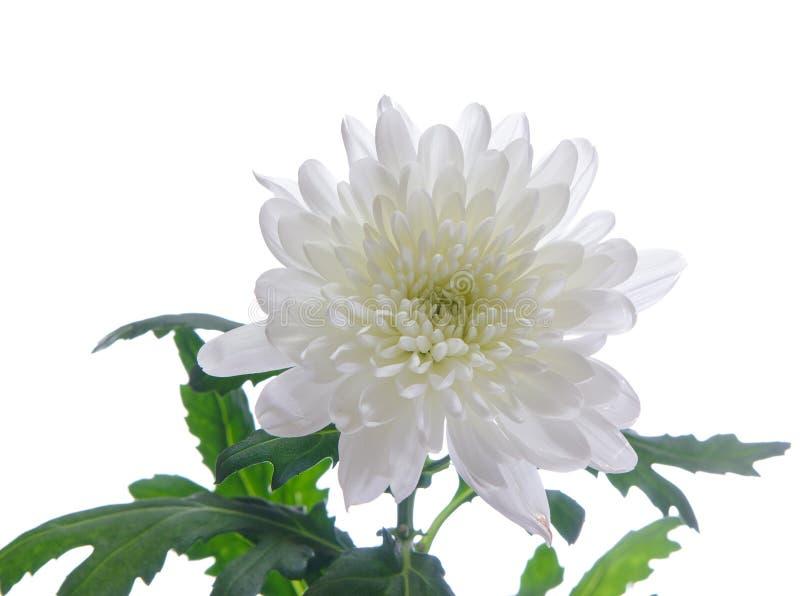Chrysantheme stockbild