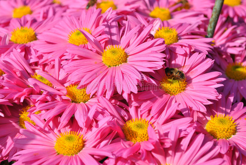 Chrysantheme stockbild