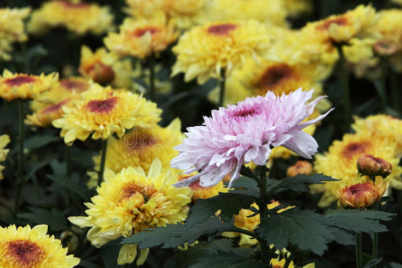 chrysantheme lizenzfreies stockfoto