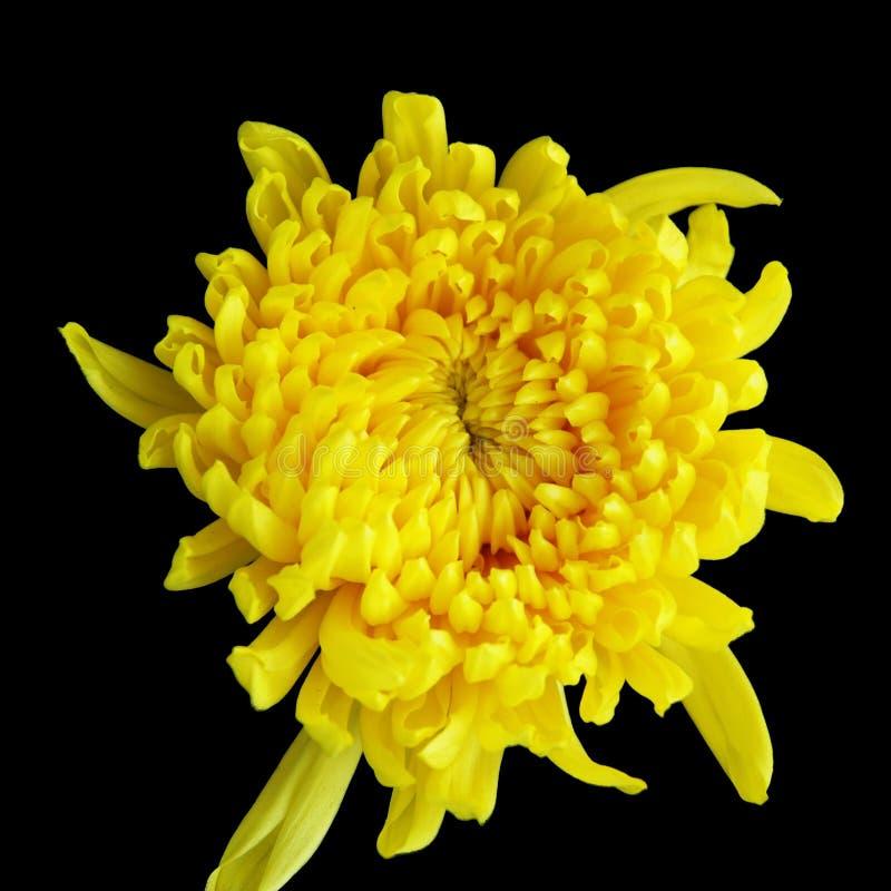 Chrysantheme stockfoto