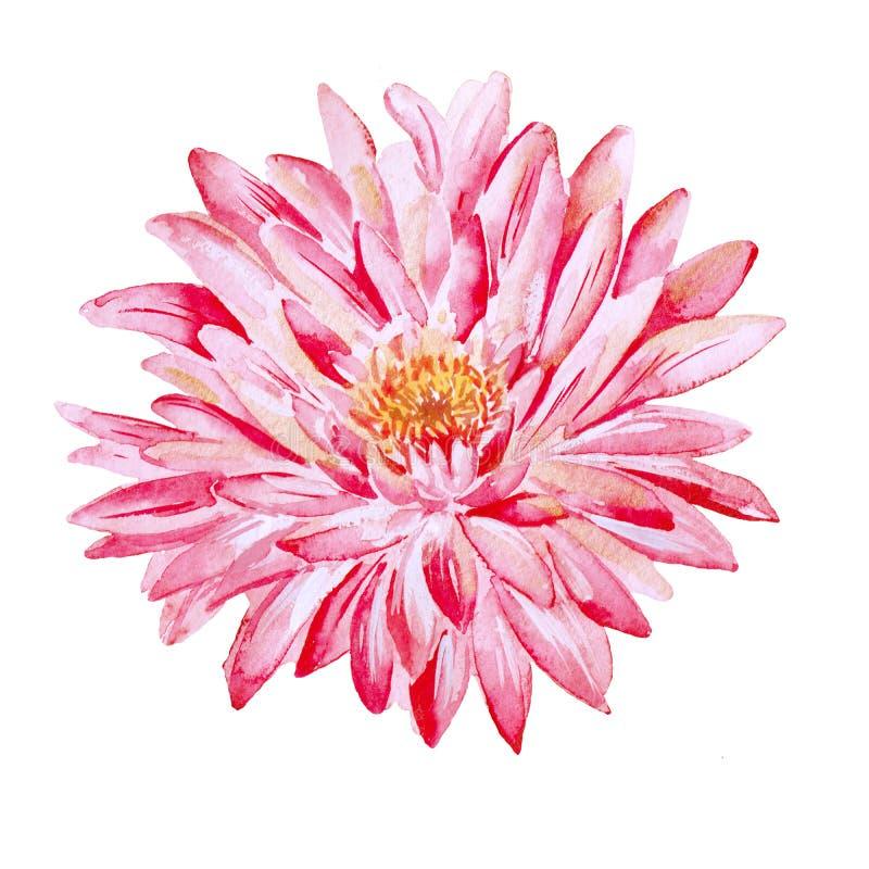 chrysantheme Aquarell lokalisierter Gegenstand lizenzfreies stockfoto
