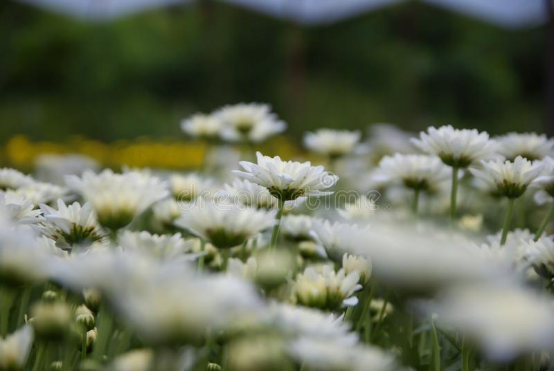 Chrysantheme, Chrysanthemen bewirtschaften, Chrysanthemen bewirtschaften aus Thailand-Land lizenzfreie stockfotos