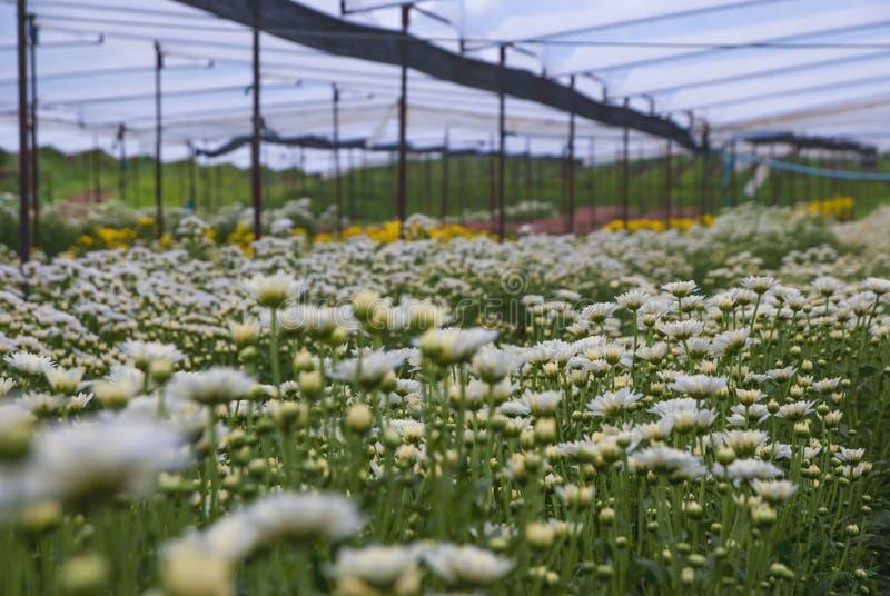 Chrysantheme, Chrysanthemen bewirtschaften, Chrysanthemen bewirtschaften aus Thailand-Land lizenzfreies stockbild