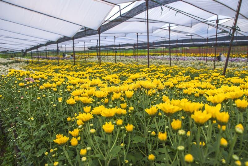 Chrysantheme, Chrysanthemen bewirtschaften, Chrysanthemen bewirtschaften aus Thailand-Land stockbilder