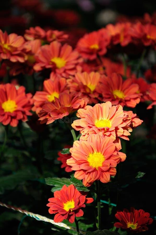 Chrysantheme des orange Rotes stockfoto