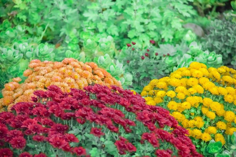 Chrysantheme im Garten, Herbstzusammenstellung frisch, botanisch, Feiertage November stockbild