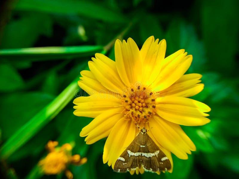 Chrysantheme indicum lizenzfreies stockbild