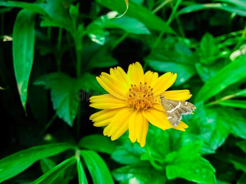 Chrysantheme indicum stockbild