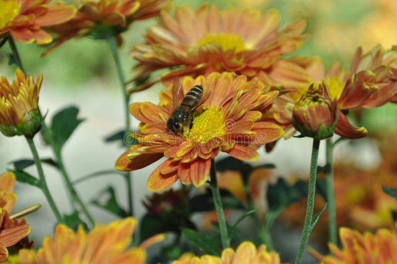Chrysantheme indicum stockbilder
