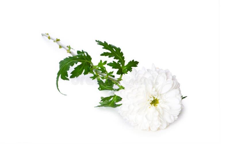 Chrysantheme (Mamas) getrennt lizenzfreie stockfotografie