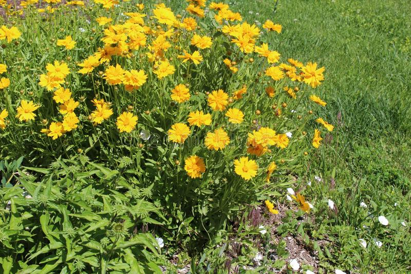 Chrysantheme segetum stockfoto