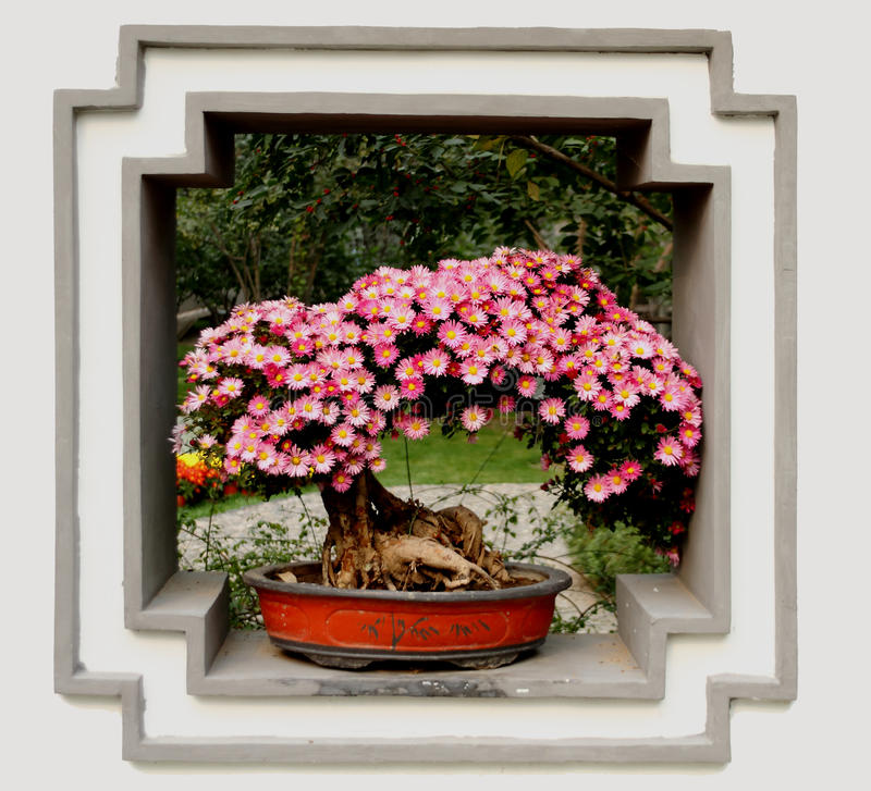 Chrysanthemebonsais lizenzfreies stockfoto