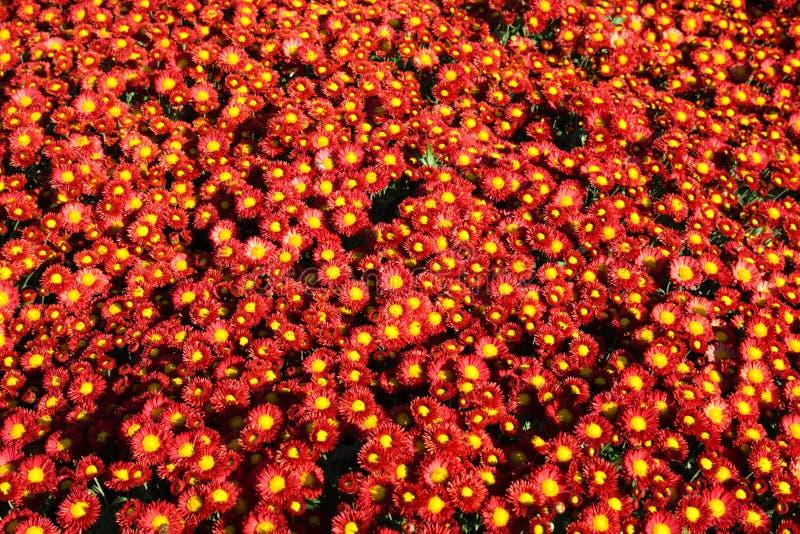 Chrysanthemehintergrund lizenzfreie stockfotos