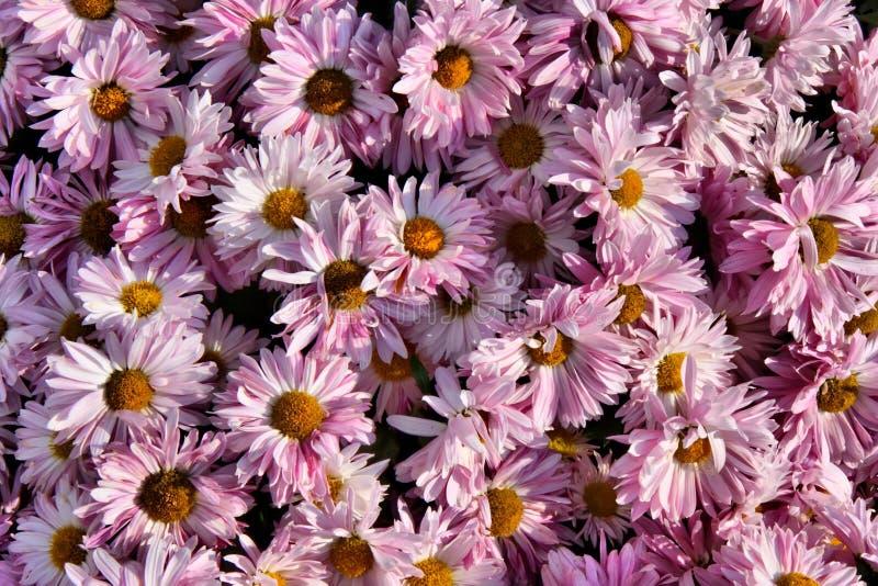 Chrysanthemehintergrund stockbild