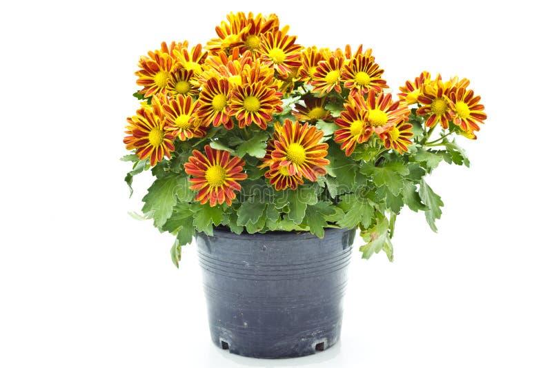 Chrysanthemen stockfoto
