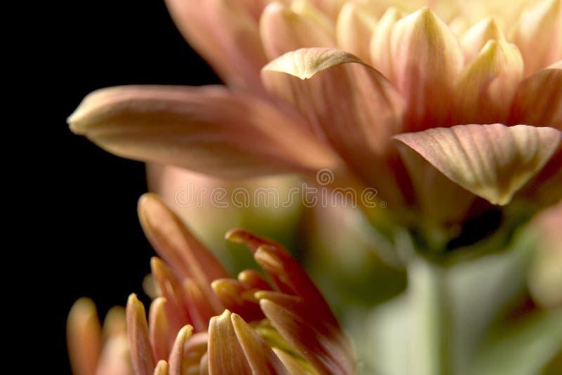 Chrysanthemen lizenzfreie stockbilder